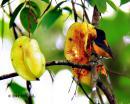 image 7342 of Orange-bellied Flowerpecker