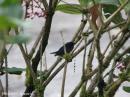 image 1737 of Bornean Flowerpecker