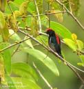 image 3360 of Scarlet-backed Flowerpecker