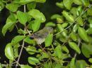 image 1738 of Scarlet-backed Flowerpecker