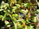 image 7950 of DICAEIDAE Flowerpeckers