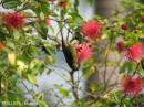 image 1764 of Olive-backed Sunbird