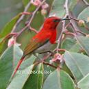 image 2092 of Eastern Crimson Sunbird