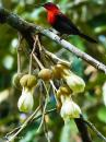 image 7979 of Eastern Crimson Sunbird