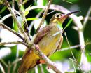image 7375 of Spectacled Spiderhunter