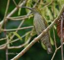 image 5320 of Bornean Spiderhunter