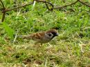image 5735 of Eurasian Tree Sparrow