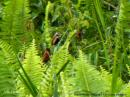 image 5639 of Chestnut Munia