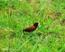 image 4690 of Chestnut Munia