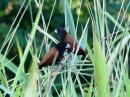 image 7971 of Chestnut Munia