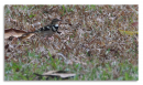 image 7263 of Forest Wagtail
