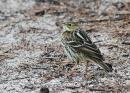 image 6781 of MOTACILLIDAE Wagtails and Pipits