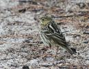 image 6780 of Pechora Pipit