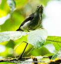 image 7126 of Spectacled Flowerpecker