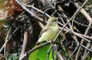 image 7846 of Green-backed Flycatcher