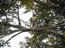 image 5817 of Peregrine Falcon