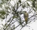 image 5816 of Peregrine Falcon