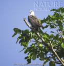 image 4835 of White-bellied Sea Eagle