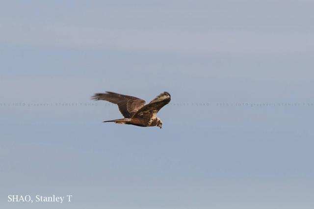 image 7437 of Eastern Marsh Harrier