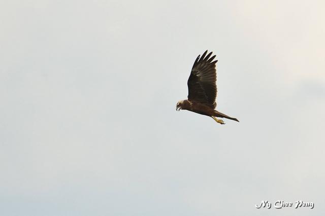 image 7460 of Eastern Marsh Harrier