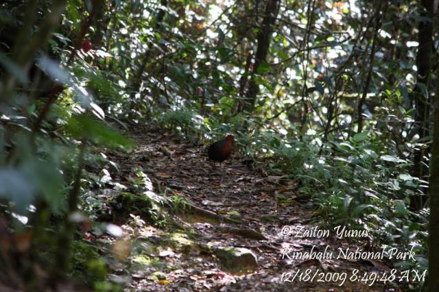 image 3589 of Crimson-headed Partridge