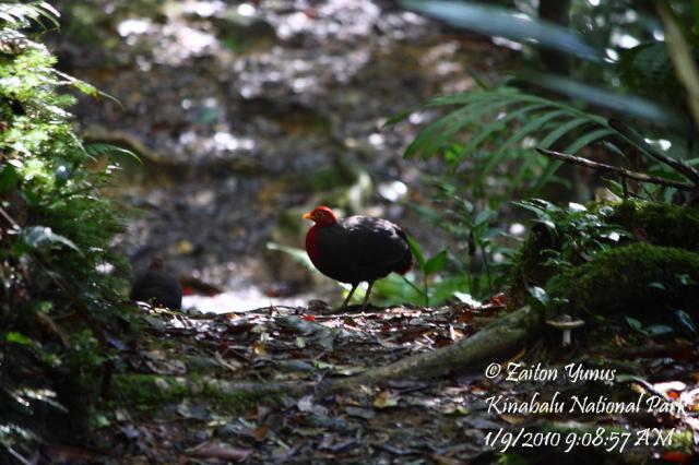 image 3591 of Crimson-headed Partridge