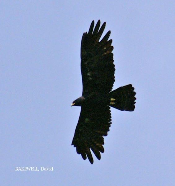 image 3953 of Indian Black Eagle