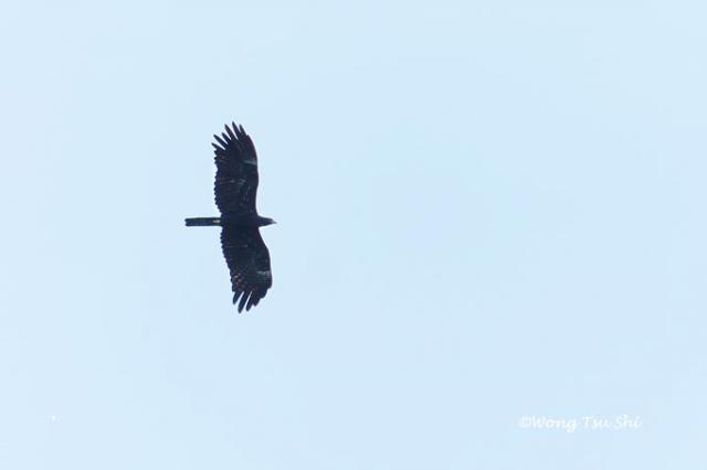image 1252 of Indian Black Eagle