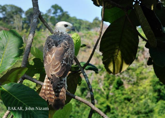 image 5883 of Changeable Hawk Eagle