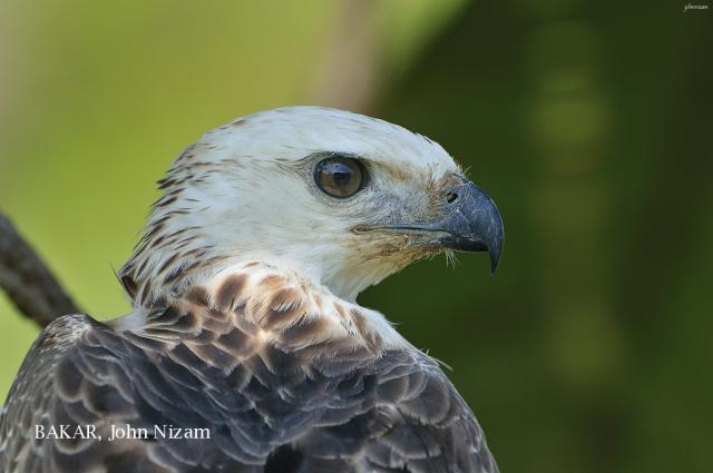 image 5882 of Changeable Hawk Eagle