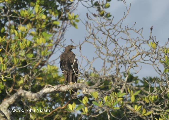 image 5884 of Changeable Hawk Eagle