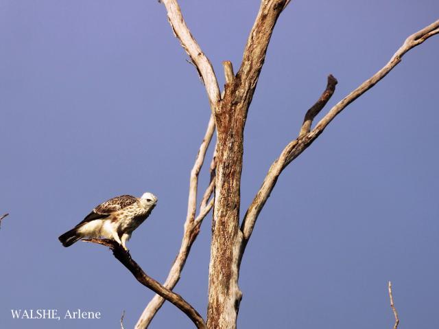 image 8016 of Changeable Hawk Eagle