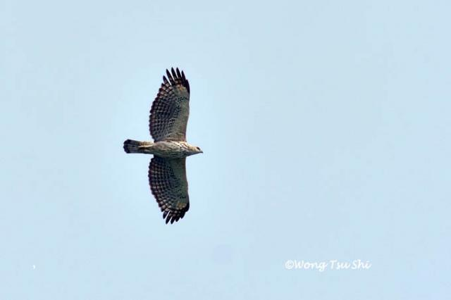image 1337 of Changeable Hawk Eagle