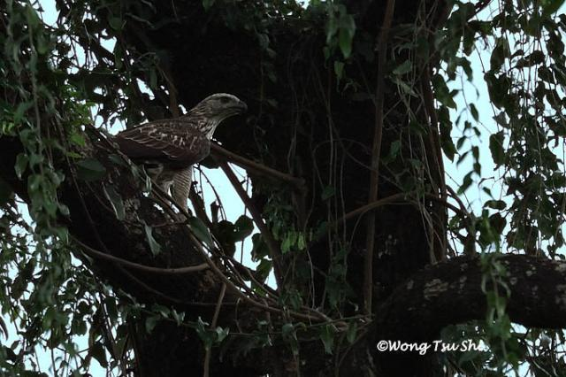image 1256 of Changeable Hawk Eagle