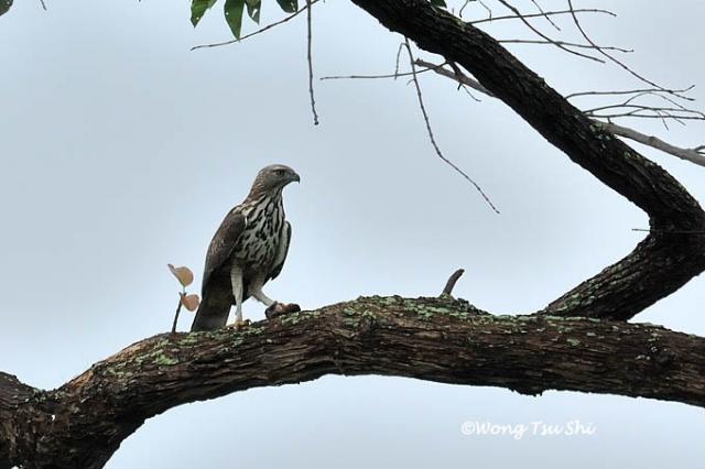 image 1255 of Changeable Hawk Eagle