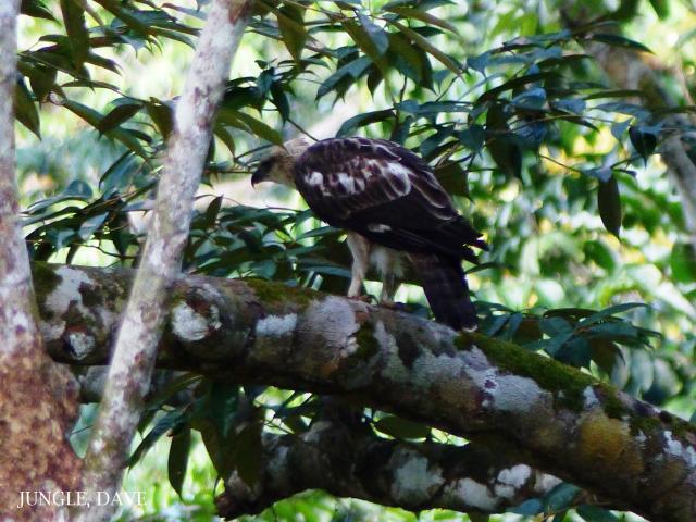image 7970 of Changeable Hawk Eagle