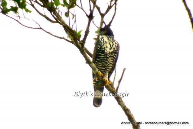 image 2963 of Blyth's Hawk Eagle