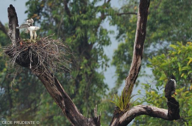 image 1873 of Blyth's Hawk Eagle