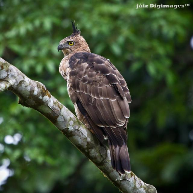 image 7362 of Wallace's Hawk Eagle