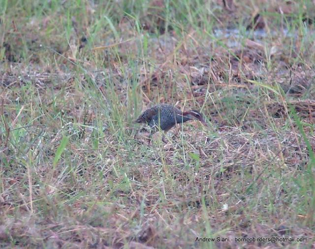 image 2964 of Buff-banded Rail