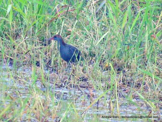 image 2965 of Slaty-breasted Rail