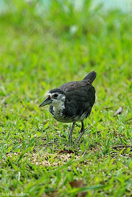 image 2966 of White-breasted Waterhen