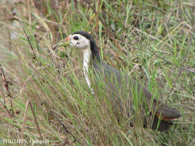 image 1536 of White-breasted Waterhen