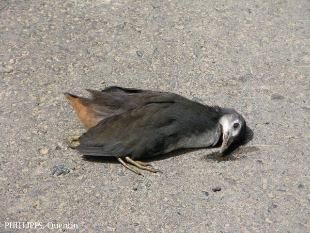 image 1535 of White-breasted Waterhen