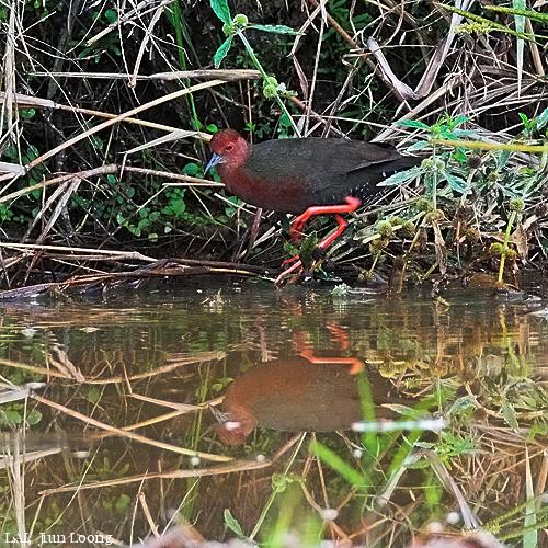 image 6586 of Ruddy-breasted Crake