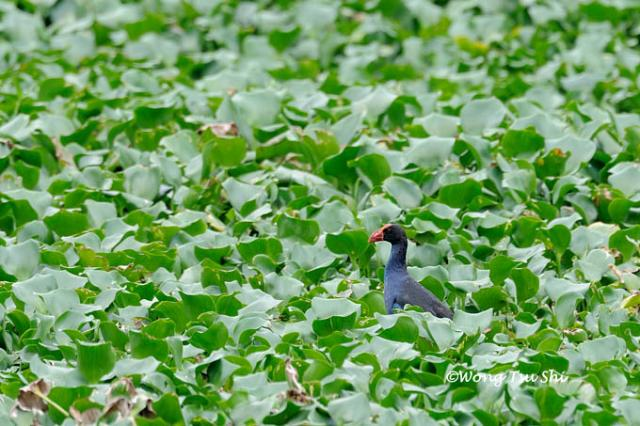 image 830 of Purple Swamphen