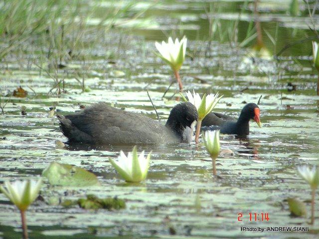 image 2968 of Common Coot