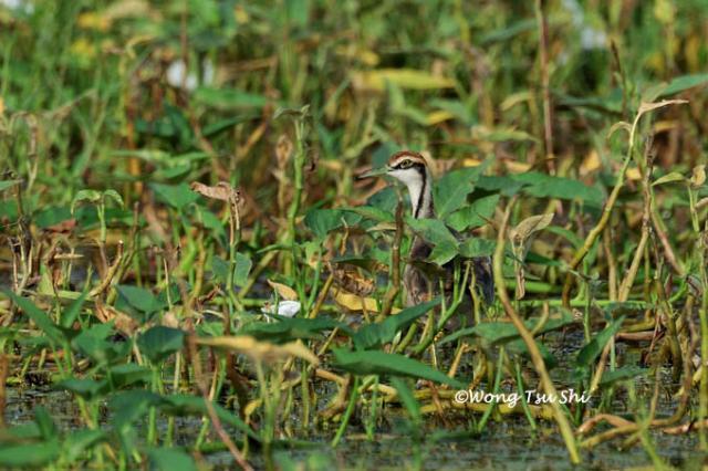 image 833 of Pheasant-tailed Jacana