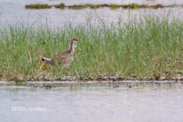 image 6954 of Pheasant-tailed Jacana