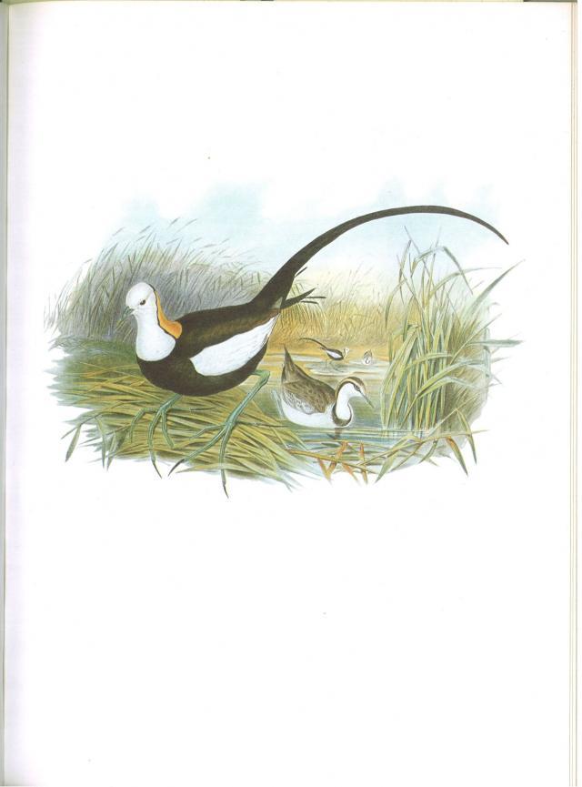 image 5985 of Pheasant-tailed Jacana